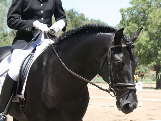 Calisto MHF at the Starr Vaughn Dressage Show August 2007